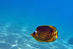 Diagonal Butterflyfish Stock Photography