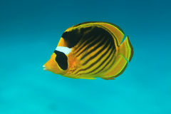 Diagonal butterflyfish Stock Image