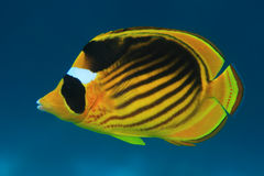 Diagonal butterflyfish Royalty Free Stock Photos