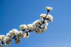 Diagonal cherry blossom branch Royalty Free Stock Image