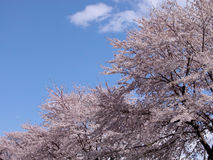 Diagonal cherry tree Royalty Free Stock Image