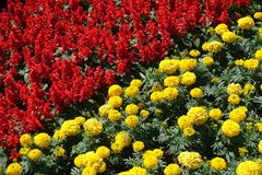 Diagonal flowerbed - red tropical sage and yellow marigold. Diagonal flower bed - red tropical sage and yellow marigold royalty free stock image