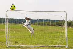 Diagonal jump of a goalkeeper. Jack Russell Terrier playing with football ball Royalty Free Stock Photography