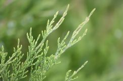 Diagonal juniper branch on a blurred green background stock photos