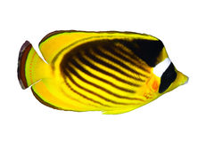 Diagonal-lined butterflyfish Stock Photo