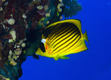 Diagonal-lined butterflyfish Royalty Free Stock Photography