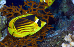Diagonal-lined butterflyfish Stock Image