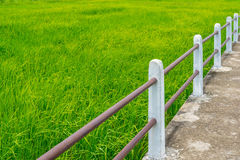 Diagonal lines of concrete pathway through green rice field Royalty Free Stock Photography