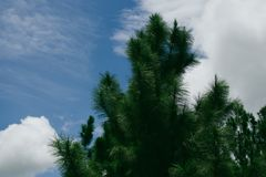 Diagonal lutning av barrträd i kontur mot ljus blå himmel Arkivbilder