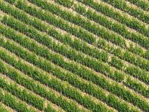 Diagonal modell för vingård: Rader av vinrankan på en brant kulle arkivbilder
