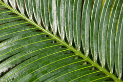 Diagonal Palm Leaf Section Stock Photography