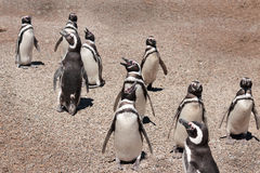 Diagonal penguins Stock Photo