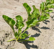 Diagonal row of young sugar beet plants Royalty Free Stock Images