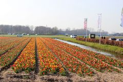 Diagonal rows of colorful tulips in red and pink in a landscape with a flower field in the background near Amsterdam in the Nether. Diagonal rows of colorful royalty free stock image