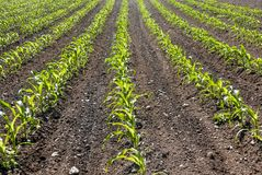 Rows of corn. Diagonal rows of young corn growing in a field of dirt royalty free stock photos