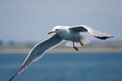 Diagonal sea gull Stock Image