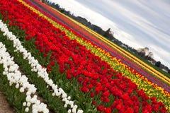 Diagonal Slant on Tulips Royalty Free Stock Image