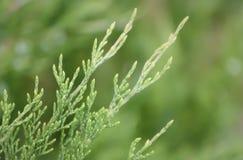 Diagonale jeneverbessentak op een vage groene achtergrond stock foto's