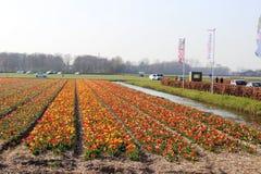 Diagonale Reihen von bunten Tulpen in Rotem und in rosa in einer Landschaft mit einem Blumenfeld im Hintergrund nahe Amsterdam im lizenzfreies stockbild