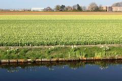 Diagonale rijen van kleurrijke tulpen in rood en roze in een landschap met een bloem binnen gebied op de achtergrond dichtbij Ams Stock Fotografie