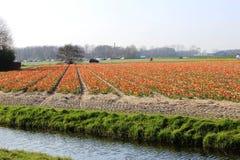 Diagonale rijen van kleurrijke tulpen in rood en roze in een landschap met een bloem binnen gebied op de achtergrond dichtbij Ams Stock Foto's