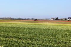Diagonale rijen van kleurrijke tulpen in rood en roze in een landschap met een bloem binnen gebied op de achtergrond dichtbij Ams Stock Foto