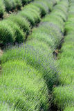 Diagonale rudert Lavendelplantage Stockbilder