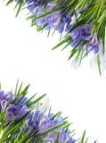 Diagonalna biała i błękitna krokus rama Zdjęcia Royalty Free