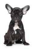 diagonalt franskt huvud för bulldogg som ser den gammala valpsidan som sitter sex till veckor Royaltyfri Fotografi