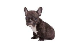 diagonalt franskt huvud för bulldogg som ser den gammala valpsidan som sitter sex till veckor Royaltyfri Foto