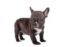 diagonalt franskt huvud för bulldogg som ser den gammala valpsidan som sitter sex till veckor Arkivfoton