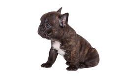 diagonalt franskt huvud för bulldogg som ser den gammala valpsidan som sitter sex till veckor Arkivbilder