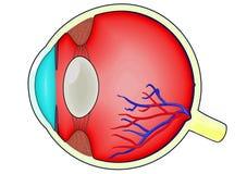diagram человек глаза бесплатная иллюстрация