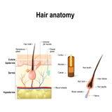 Diagram av en hårsäck i ett tvärsnitt av hudlager vektor illustrationer