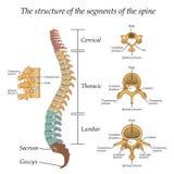 Diagram av en mänsklig rygg med avsnitten för namn och för beskrivning allra och segment av kotorna, vektorillustration vektor illustrationer