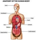 Diagram die anatomie van menselijk lichaam met namen tonen royalty-vrije illustratie