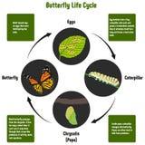 Diagram för fjärilslivcirkulering stock illustrationer