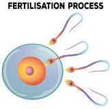 Diagram of fertilisation process. Illustration Royalty Free Stock Photo