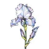 Diagram filialblomningljuset - blå iris med knoppen Svartvit översiktsillustration med dragen målning för vattenfärg hand royaltyfri illustrationer