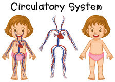 Diagram of girl with circulatory system Stock Images