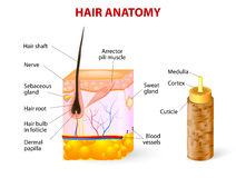 Diagram of a hair follicle in a cross section of s Royalty Free Stock Images