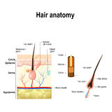 Diagram of a hair follicle in a cross section of skin layers. Human Hair Anatomy. Diagram of a hair follicle and cross section of the skin layers Royalty Free Stock Images