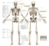 A diagram of the human skeleton Stock Image