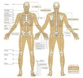 A diagram of the human skeleton Royalty Free Stock Photos