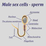 Diagram of the male sex cells - sperm Royalty Free Stock Images