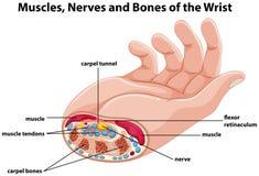 Diagram montrer la main humaine avec des muscles et des nerfs illustration stock