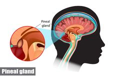 Free Diagram Of Pituitary And Pineal Glands In The Human Brain Royalty Free Stock Image - 188780136