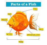 Diagram with parts of fish. Illustration Royalty Free Stock Image
