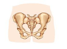 Diagram of the pelvic girdle labeled Royalty Free Stock Photos
