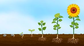 Diagram of plant growth stages. Illustration vector illustration
